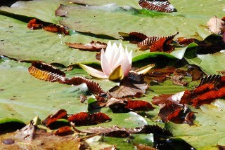 ハスの花の写真