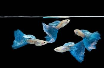 ... colour of the fish. The most common colours are red, green and blue