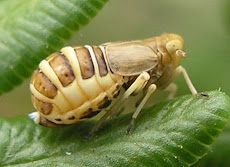 Rare Leafhopper found at Grane