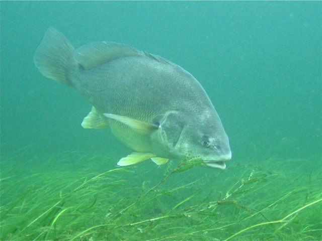 Freshwater sheepshead fish for Freshwater fish facts
