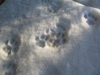 Kattspår i snön
