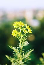 Flor da Arruda