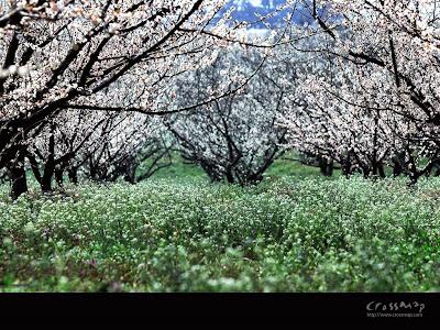 free blossom spring wallpaper