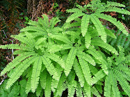 My Favorite Native Fern