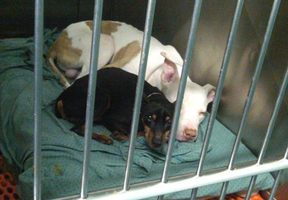 ny nj disabled vets 2 dogs need home together  very bonded to each other