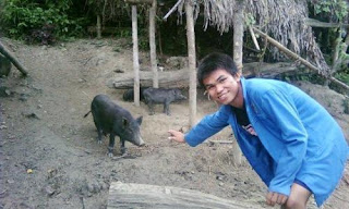 ternak babi penduduk