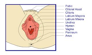 bentuk organ wanita dan fungsi