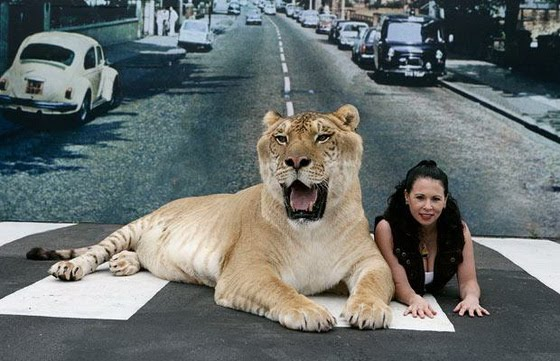 [Hercules+-+World's+Largest+Big+Cat+02_resize.jpg]