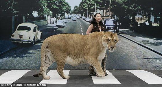 World's Biggest Liger Hercules