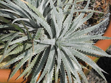 Dyckia hebdingii or the blue one