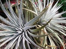 Dyckia hebdingii affinis