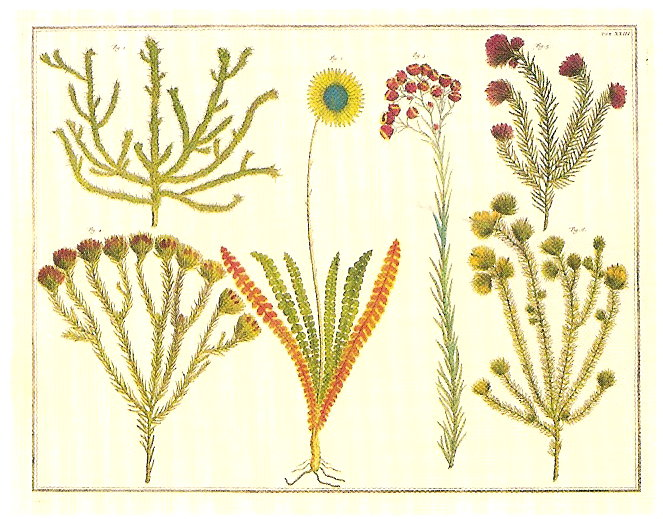 NATURAL CURIOSITIES FROM THE CABINET OF ALBERTUS SEBA. SUNFLOWER FAMILY.  EVERLASTING FLOWER. PROTEA FAMILY AND GREENWEED.