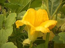 La flor de la calabaza se abre totalmente a media mañana.