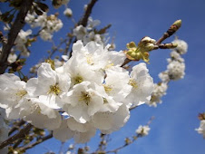 Flor del cerezo.