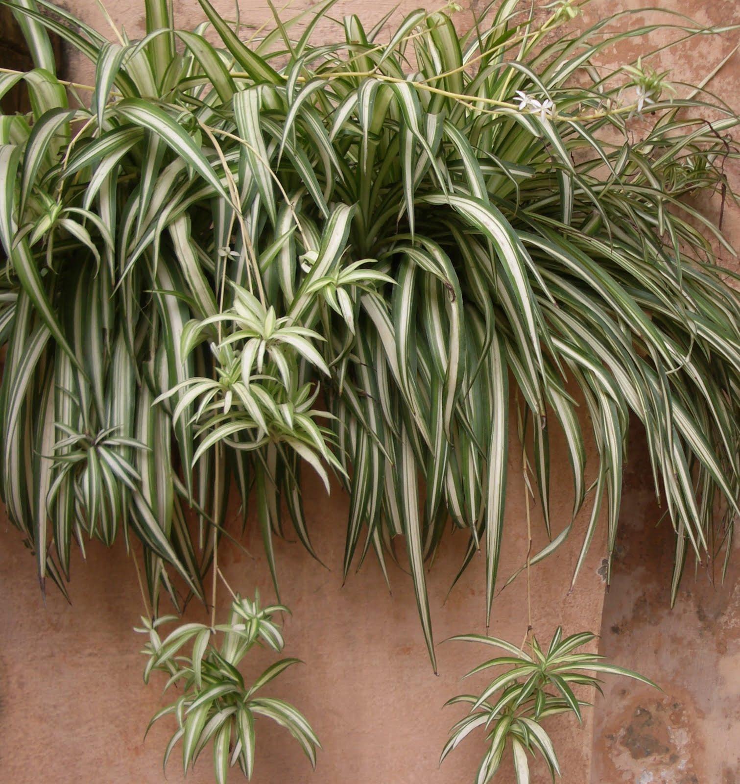 Spider Plant | Vertical Garden Plants - Northcote Client ...
