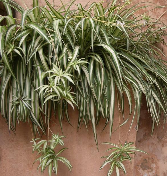 spider plant vertical garden