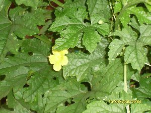 bunga pare