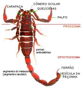 Kategoria:Anatomia stawonogw , wolna encyklopedia