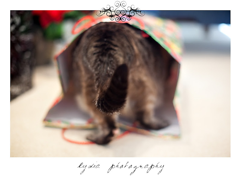 Sapphire the cat walking in to a Christmas present bag