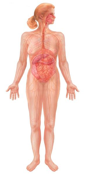 organs in digestive system. of the digestive system is