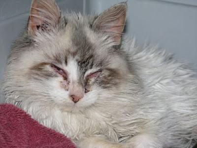 Leukemia In Cats Uk