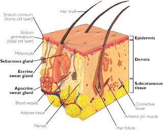 ثلاث اماكن في الجسم لا يصلها الدم هل تعرفها nsanatomy.jpg