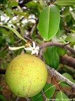 flor e fruto da Mangaba, foto de