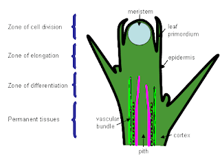 Plant:Meristematic and Permanent tissue