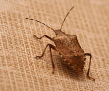 The brown marmorated stink bug...