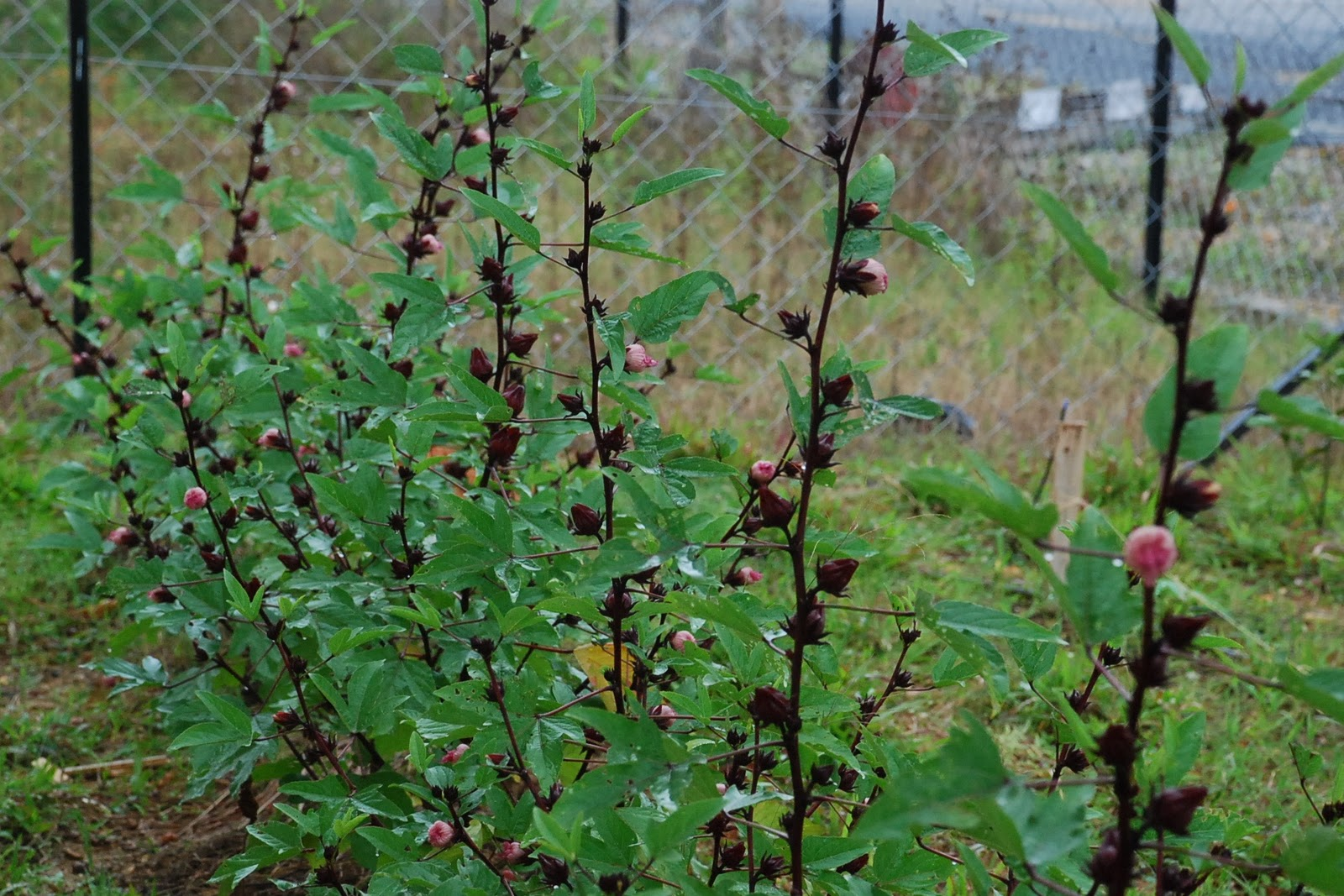 My little vegetable garden: Growing roselle: when they bloom