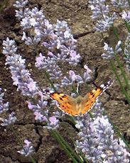 Farfalla su lavanda rosea