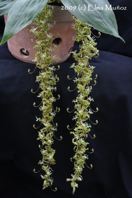 Cycnoches Peruvianum