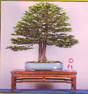 Pokok Bongsai