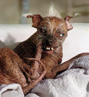 pictures: This is a picture of the winner of the ugliest dog contest