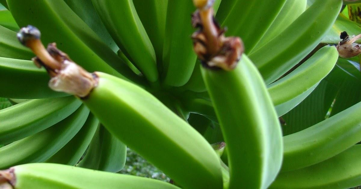 "Vegan ""Mofongo"" Mashed Green Plantains w/ deep Fried Tempeh"