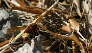 This hornet has returned to find the ants making off with the rest of her .