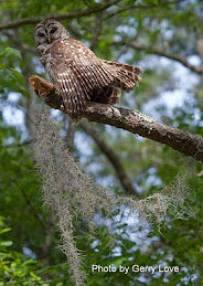 Gerry's Barred Owl