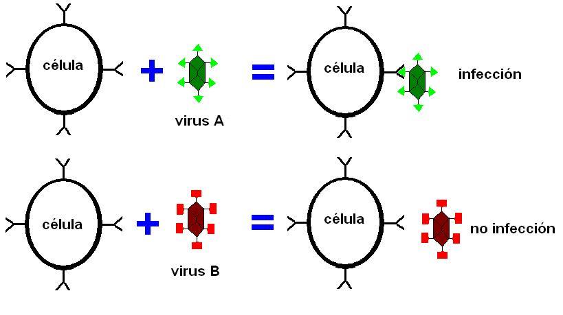 genético formado por una hebra de DNA en dirección 5'- 3