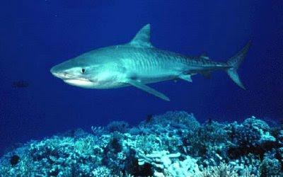 Tiburones Fotos e información