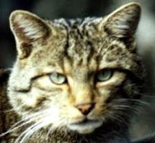 Gato silvestre