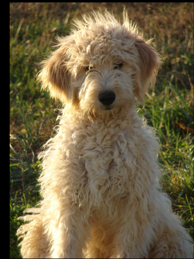 F1B English Goldendoodles Images