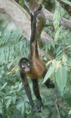Mico Araña del Amazonas (Ateles belzebuth)
