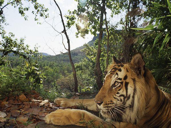 http://2.bp.blogspot.com/_NYttquK93yM/TQBTIwzu0yI/AAAAAAAAAvc/thfIF0_TXco/s1600/bengal-tiger-lounging_460_600x450.jpg