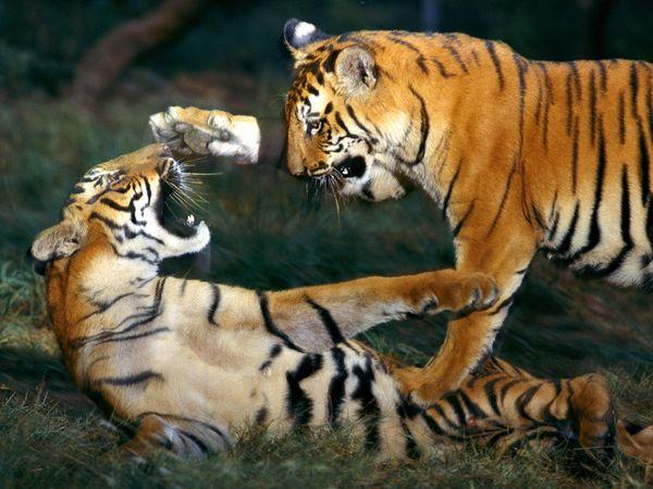 http://2.bp.blogspot.com/_NYttquK93yM/TQBTJ_jCKeI/AAAAAAAAAvg/93gtNYBGMcQ/s1600/bengal-tiger-playing_461_600x450.jpg