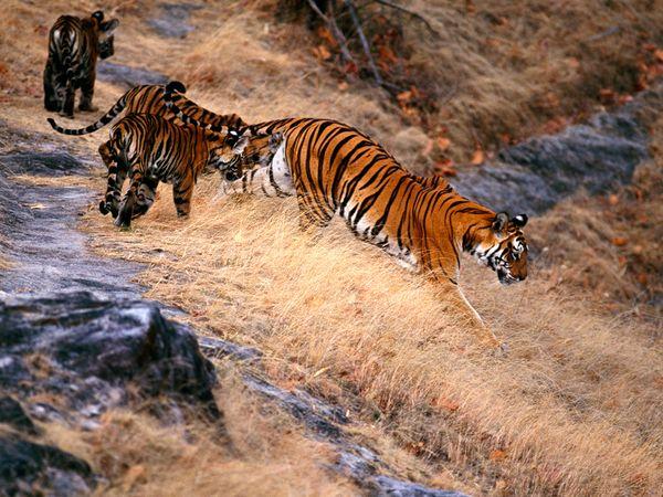 http://2.bp.blogspot.com/_NYttquK93yM/TQBTQKiUN2I/AAAAAAAAAv0/MPZuw5X4ef0/s1600/tiger-cubs-following-hill_20245_600x450.jpg