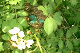 Robin's Nest in Rambler Rose