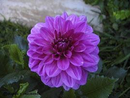Una de sus flores emblemáticas (Dalia lila)