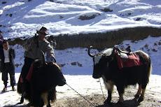 le yak des himalayas