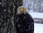 Kodiak Eagle