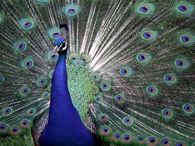 Indian Blue Peacock Free Wallpaper